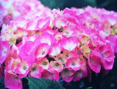 Hydrangea Lets Dance, Big Easy