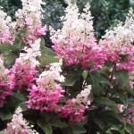 pinky winky hydrangea