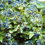 viburnum chicago luster